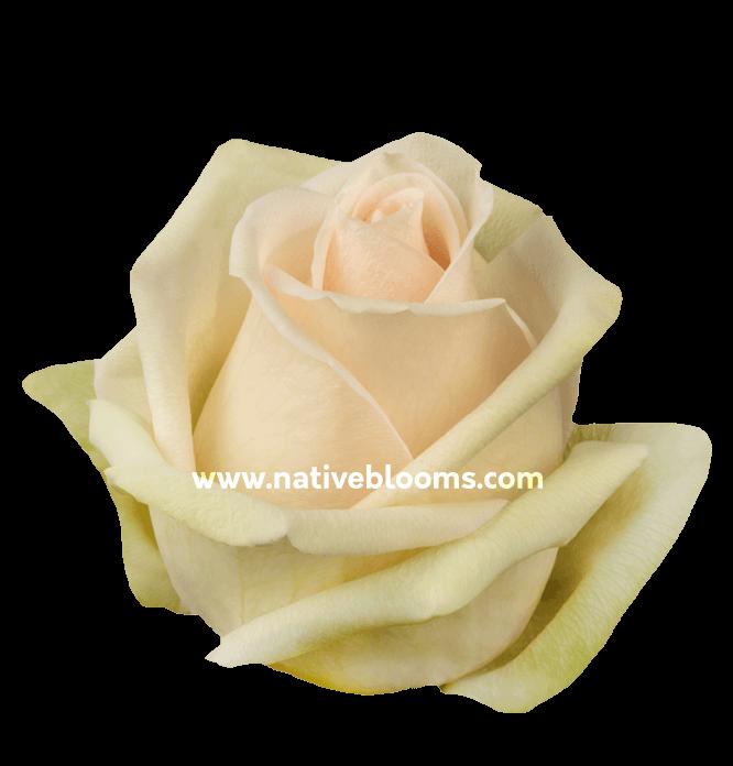 Perla Roses