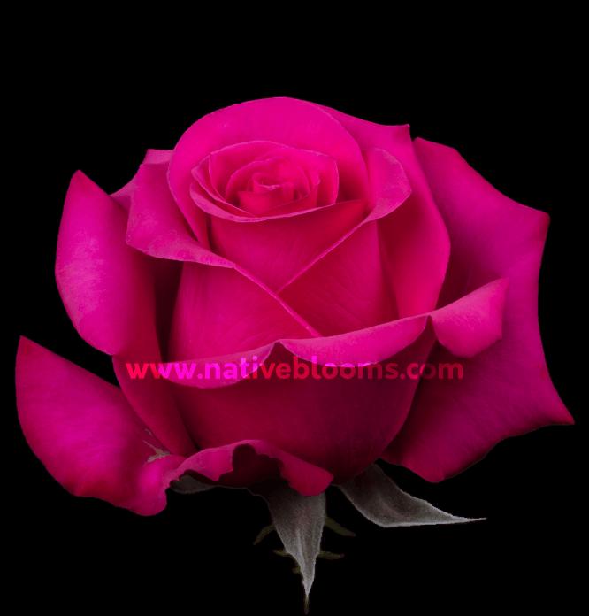 Pink Martini Roses
