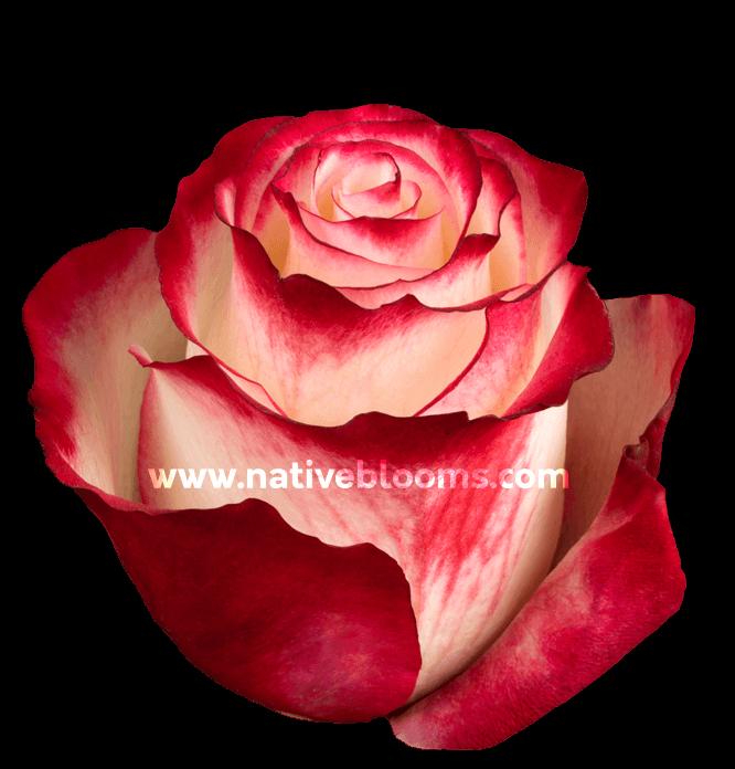 Sweetness Roses